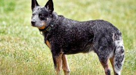 Australian Cattle Dog Wallpaper HQ