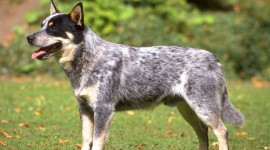 Australian Cattle Dog Wallpaper#1