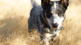 Australian Cattle Dog Wallpaper#2
