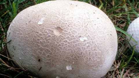 Calvatia Gigantea wallpapers high quality