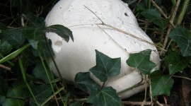 Calvatia Gigantea Photo Download