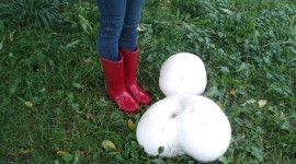 Calvatia Gigantea Photo#4