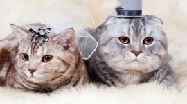 Cat Wedding Wallpaper 1080p