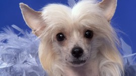 Chinese Crested Dog Desktop Wallpaper