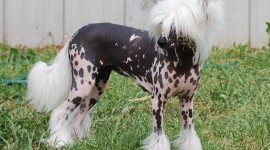 Chinese Crested Dog Photo Download