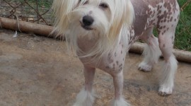 Chinese Crested Dog Photo Free