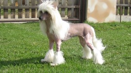 Chinese Crested Dog Photo#1