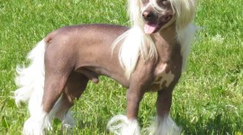 Chinese Crested Dog Wallpaper For IPhone