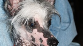 Chinese Crested Dog Wallpaper For IPhone#1