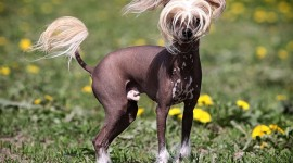 Chinese Crested Dog Wallpaper For PC