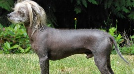 Chinese Crested Dog Wallpaper Full HD