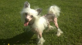 Chinese Crested Dog Wallpaper Gallery