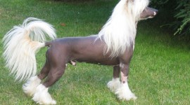 Chinese Crested Dog Wallpaper HQ