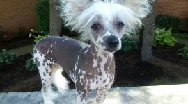 Chinese Crested Dog Wallpaper HQ#1