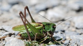 Decticus Verrucivorus Photo