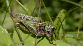Decticus Verrucivorus Photo Free