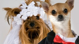 Dog Wedding Desktop Wallpaper