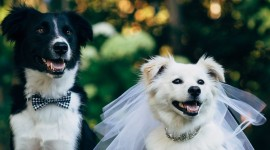 Dog Wedding Wallpaper Download