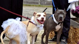 Dog Wedding Wallpaper For Desktop