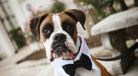 Dog Wedding Wallpaper For PC