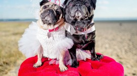 Dog Wedding Wallpaper HQ