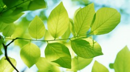 Green Leaves Wallpaper 1080p