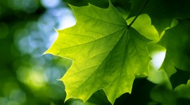 Green Leaves Wallpaper Download