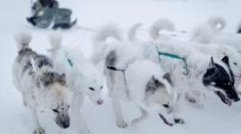 Greenland Dog Desktop Wallpaper