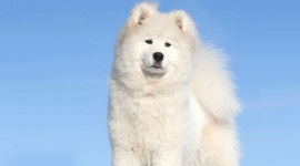 Greenland Dog Photo