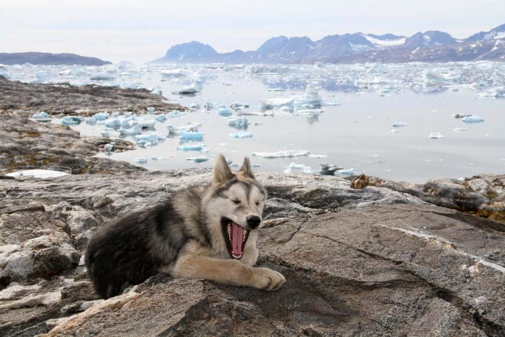 Greenland Dog wallpapers HD
