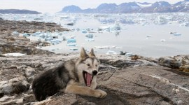 Greenland Dog Photo Download