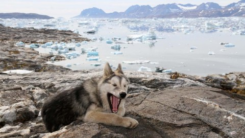 Greenland Dog wallpapers high quality