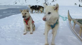Greenland Dog Photo Free