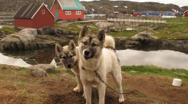 Greenland Dog Photo#1