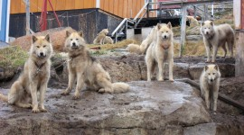 Greenland Dog Photo#2