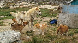 Greenland Dog Photo#3