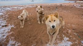 Greenland Dog Wallpaper For Desktop
