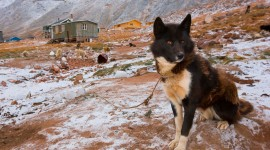Greenland Dog Wallpaper For PC