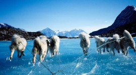 Greenland Dog Wallpaper Full HD
