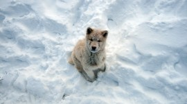 Greenland Dog Wallpaper Gallery