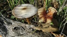 Gymnopus Dryophilus Photo Download