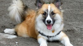 Icelandic Sheepdog Best Wallpaper
