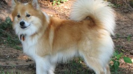 Icelandic Sheepdog Wallpaper Full HD#1
