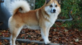 Icelandic Sheepdog Wallpaper Gallery