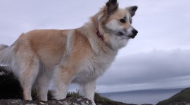Icelandic Sheepdog Wallpaper HQ#1
