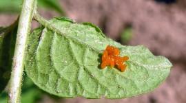 Leptinotarsa Decemlineata Photo#5