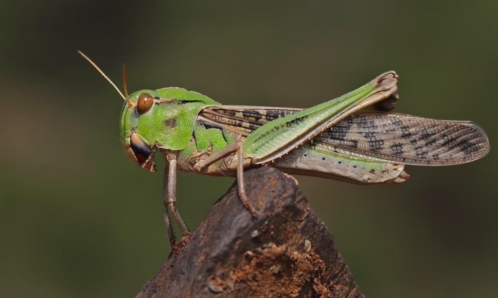 Locusta Migratoria wallpapers HD