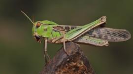 Locusta Migratoria Best Wallpaper