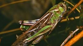 Locusta Migratoria Desktop Wallpaper
