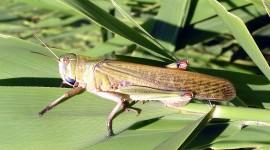 Locusta Migratoria Photo